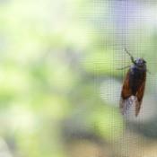 Cicada on a screen.