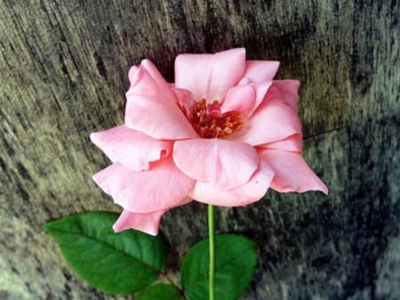A Rose Named Charlie - pink rose bloom
