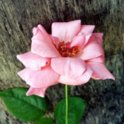 A Rose Named Charlie - pink rose bloom