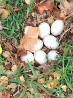Pekin Duck Hen Has Laid Eggs - duck eggs