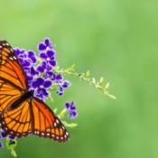 Viceroy Butterfly on a flower.