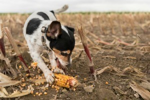 Dog playing with a corn on a cob.