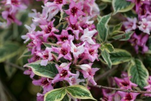 Blooming Weigela Florida