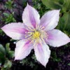 Little Duckling Clematis - light pinkish white petals with a darker stripe in the cneter