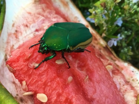 June Bug on Watermelon - emerald green bug on watermelon