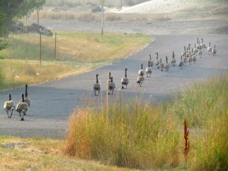Geese Evacuating - geese walking down the road