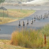 Geese Evacuating - geese walking down the road