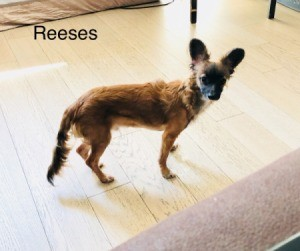 Is My Dog a Chihuahua?  lanky small dog with large rounded ears