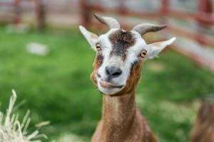 Goat in a field.