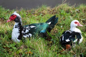 Muscovy Ducks in grass.