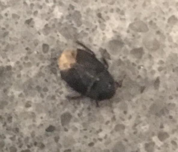 Little Black Bugs On Kitchen Counter: Identifying Small Black Bugs