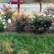 A rosebed of pink and red knockout roses.