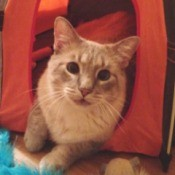 Ziggy (Siamese Mix) - Ziggy in a tent