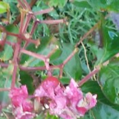 Something Is Eating the Leaves on My Crepe Myrtle - branch stripped of leaves