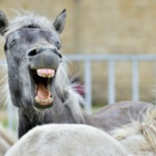Funny portrait of a laughing horse. Camargue horse yawning