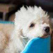 Sick white miniature poodle.