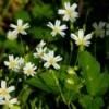 Flowering Chickweed