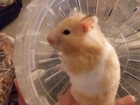 Tinkerbelle (Syrian Hamster) - in her exercise ball