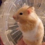 Tinkerbelle (Syrian Hamster) - in her exercise ball