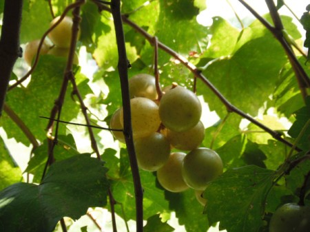 Keep Animals from Eating Your Grapes - green grapes on the vine