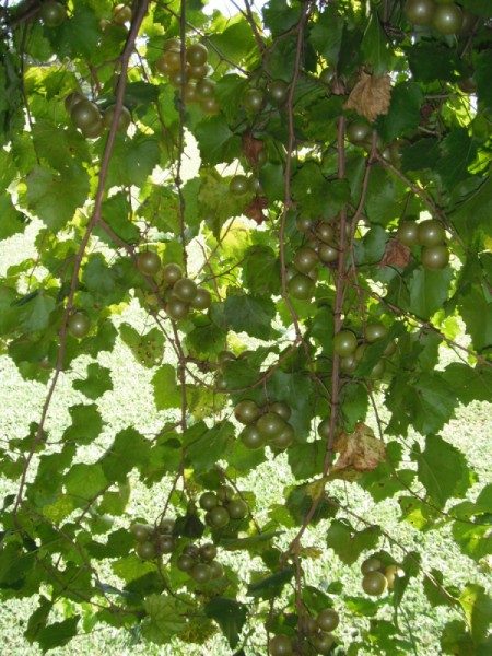 Keep Animals from Eating Your Grapes - abundance of grapes