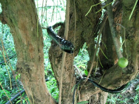Keep Animals from Eating Your Grapes - fake snake in grape vine