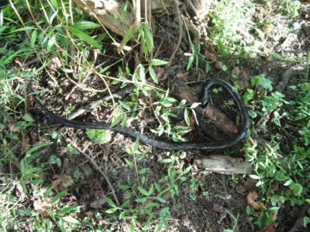 Keep Animals from Eating Your Grapes - black hose to look like a snake on ground
