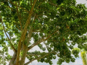 Photo taken from under a tree looking up.