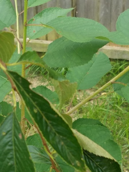 Weeping Cherry Tree Has Two Different Size Leaves - both leaf sizes