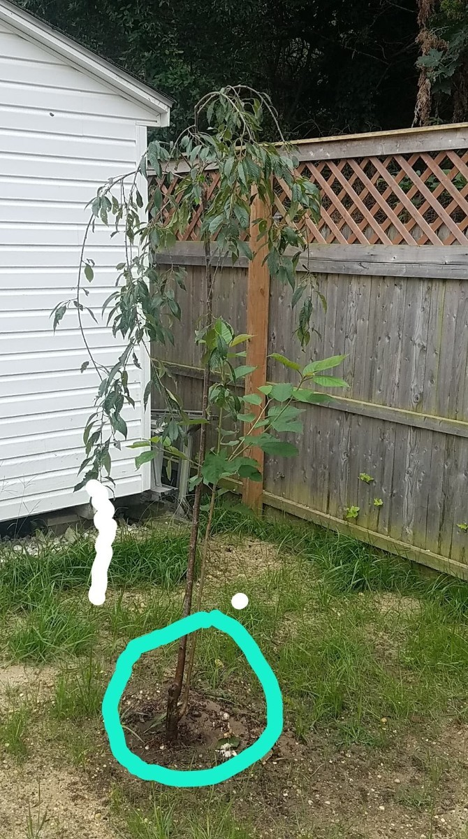 Growing A Weeping Cherry Tree Thriftyfun