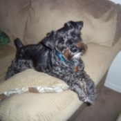 Ace (Miniature Schnauzer) - Ace  the couch