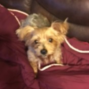 Cookie (Yorkshire Terrier)