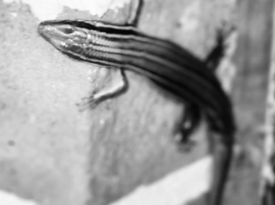 Wildlife: Lizard