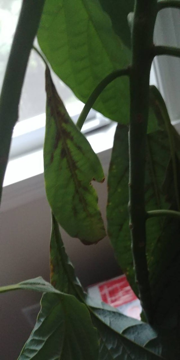 Leaves Dying On An Avocado Plant Thriftyfun