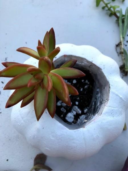 Succulent Pumpkin Planter - having added soil begin to plant cuttings