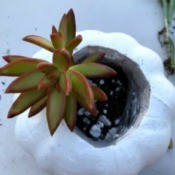 Succulent Pumpkin Planter - having added soil begin to plant cuttings