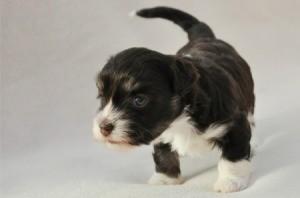 4 Week Old Puppy