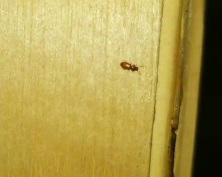 Identifying a Bug Found in the Shower - small brown bug
