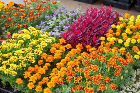 Flowering plants at a nursery.