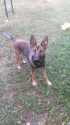 Is My Dog a Purebred Malinois? - dog in the yard