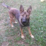 Is My Dog a Purebred Malinois? - dog in the yard