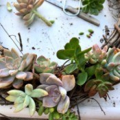 Succulent Wreath - filling in the spaces