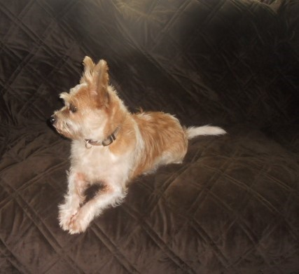 GUS Gusto Tuesday Ragamuffin (Terrier Mix) - tan and white terrier mix on bed