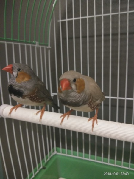 Distinguishing Between Male and Female Zebra Finches - birds on a perch in their cage