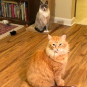 Karma and Numi at Snackle Time - cats waiting for a treat