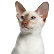 Flame Point Siamese cat.