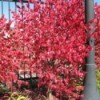 A tree with vivid red leaves in fall.