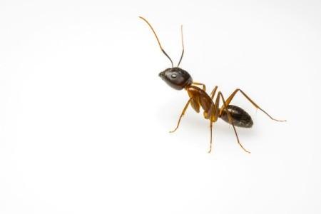 Closeup of an ant.