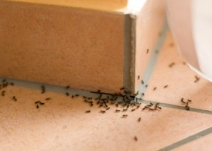 Ants on a tile floor.