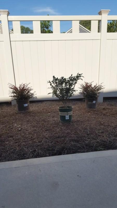 Growing a Dwarf Burning Bush - bush in a pot